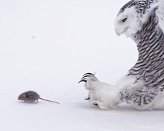 Watch Out Behind You!!! (dcstep) Tags: dsc3799dxo mouse owl bird raptor birdofprey snowyowl talons sonya9 fe100400mmf4556gmoss fe14xtciii canada quebec owladventure baited handheld sony winter