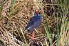 PurpleSwamphen (hawaza) Tags: bird birds purpleswamphen reeds lake riaformosa algarve portugal