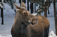 Big Mama (Katy on the Tundra) Tags: moose wildanimal