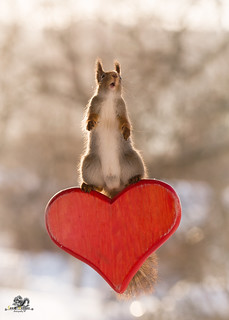 red squirrel with open mouth on heart