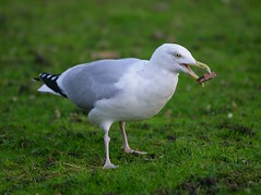Human, I don't understand the appeal of chocolate ;) (Graham Ó Síodhacháin) Tags: herring gull wildlife margatecemetery bird