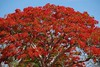 Flame Tree (Susan Roehl) Tags: madagascar2017 islandofmadagascar offtheeastcoastofafrica berentyreserve flametree endemictomadagascar plant flora largespreadingtree grows18to20meters alsofoundinaustralia india pakistan nepal mexico asia southandcentralamerica greybark brightredflowers longleatherypods seeds needs40forabove 4ctemps sueroehl photographictours naturalexposures panasonic lumixdmcgh4 35x100mmlens handheld cropped tree flower sky coth5 ngc