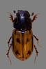 Dungkäfer (planetvielfalt) Tags: coleoptera aphodinae polyphaga scarabaeidae scarabaeiformia