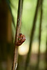 蝉 (Hachimaki123) Tags: nara 奈良 萬葉植物園 manyobotanicalgardens 日本 japan cigarra 蝉 cicada insect insecto 虫 animal 動物