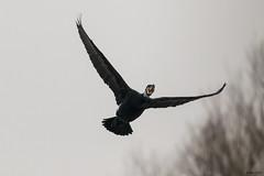 Oostvaarderplassen (jancphotography.be) Tags: birds canon bird photography vogels oostvaarderplassen holland birdsinflight