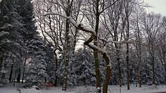 Twisty Tree (Daphne-8) Tags: schnee neve nieve neige snow sneeuw bomen trees bäume arbres arboles bosque wald forest woods woud bos forêt winter hiver inverno invierno nature naturaleza landscape paysage landschaft peasaggio paisaje landschap