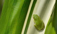 Tree Frog (KingGuardian) Tags: leaves green greentreefrog amphibian outdoors frog treefrog nikond7100 trees plants ngc naturelovers nikon70300mmf4556afs wildlife flowers norfolkbotanicalgarden nature
