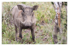 2018 01 31_Warthog-1 (Jonnersace) Tags: africa africanmammals warthog phacochoerusafricanus vlakvark mammal tusks hair eyes ears tail grass bush pumba wildwingssafaris southafrica krugernationalpark