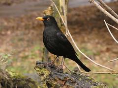 Blackbird (Deanne Wildsmith) Tags: blackbird wolseleynaturecentre staffordshire
