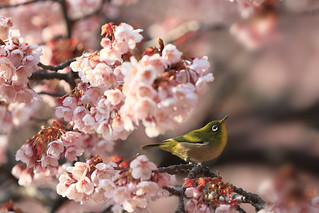 a white eye with cherry blossoms.