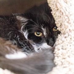 Daisy24Feb201815.jpg (fredstrobel) Tags: pawsatanta atlanta places pets animals ga usa pawscats cats decatur georgia unitedstates us