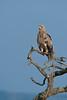 Tawny eagle (David Perez Lopez) Tags: águilarapaz aquilarapax tawnyeagle áfrica tanzania ngorongoro nikon d4s 200400vrii