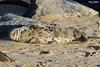 Grey seal Horsey 7/1/2018 (Paul-Green) Tags: greay seals norfolk coast line sea january 2018 horsey beach uk gb flickr canon camera cold winters day sun sunny outdoors wildlife photography