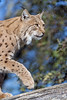 Lynx walking on the log (Tambako the Jaguar) Tags: lynx big wild cat feline portrait profile walking log branch tree wood face tierparkgoldau zoo switzerland nikon d5