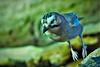 Hopping mad-ness (Paul Wrights Reserved) Tags: jay jump hop hopping jumping leap leaping bird birding birds birdphotography birdwatching birdinflight bokeh closeup beautiful