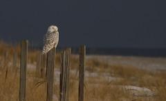 Colbalt Blue (slsjourneys) Tags: snowyowl beach owl ocean islandbeachstatepark