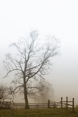 Birke im Nebel (uschmidt2283) Tags: bäume landschaften lichtoutdoor natur nebel wald