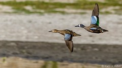 SJWR - Blue Winged Teal pair in Flight_5514 (www.karltonhuberphotography.com) Tags: 2017 action bird birdphotography birdsinflight bluewingedtealpair bluewingedteal bluewingedtealanasdiscors ducks flying karltonhuber lake nature outdoors pond sanjoaquinwildliferefuge southerncalifornia wildlife wildliferefuge wings