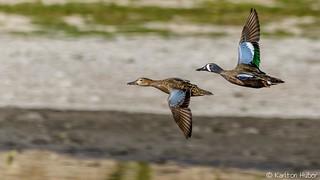 SJWR - Blue Winged Teal pair in Flight_5514