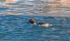 DOL-A-5730 (~ Daniel LaFrance) Tags: commongoldeneye divingduck female princeedwardcounty wellingtonchannel