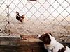 """Mislim da sam vidio micu macu!"" (Bambola 2012) Tags: frida cane canedacaccia pas lovačkipas ptičar brittanyspaniel epagneulbreton dog gundog chicken gallina kokoš"