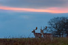 'The Fallow Sky' (Jonathan Casey) Tags: sunset deer fallow stag buck holham hall norfolk nikon d810 200mm f2 vr