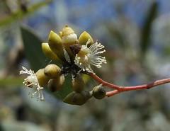 Eucalyptus crebra 140417-1832 (Tony Rodd) Tags: eucalyptuscrebra narrowleavedironbark ironbark myrtaceae eucalypts australia newsouthwales nsw