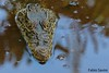 Crocodylus rhombifer (Fabio Savini) Tags: cuban crocodile rare ciénaga de zapata swamp crocodylus rhombifer critically endangered cuba coccodrillo rischio di estinzione endemico endemic fabio savini naturalistic photo