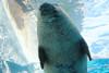 Manatee Swimming at Detroit Zoo (marylea) Tags: detroitzoo detroit zoo royaloak aug16 2013 manatee acquarium summer michigan detroitzoologicalpark zoologicalpark