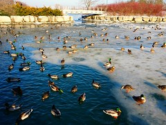 Ducks penned in by ice (Trinimusic2008 - stay blessed) Tags: trinimusic2008 judymeikle nature ducks photographers yesterday cityoftoronto birds winter toronto to ontario canada stormwatermanagementfacility sonydschx80