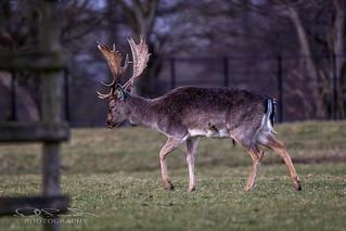 Fallow Deer (Stag)