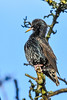 yoga starling (Paul Wrights Reserved) Tags: starling bird birding birdphotography birdwatching perched perching yoga