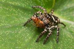 Saltarina (Wilmer Quiceno) Tags: saltarina saltadora salticidae araña spider salticida spiderjump naturaleza envigado macro eos70d macrofotografía insecto insect