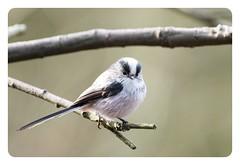 Long Tailed Tit, (Aegithalos caudatus) (keith.gallie) Tags: long tailed tit bird birdwatching nature woodland winter