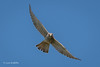 Kestrel D85_0234.jpg (Mobile Lynn) Tags: birdsofprey kestrel wild birds nature bird birdofprey fauna raptor wildlife elejido andalucía spain es coth specanimal coth5