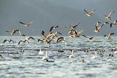 Jump up (Teruhide Tomori) Tags: goose nature wild bird japan japon water shiga lakebiwa sky 琵琶湖 日本 渡り鳥 冬鳥 aquaticbird 水鳥 湖北 ガン 雁 野生動物 自然 ネイチャー 水 滋賀県