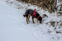 Mmm. Interesting odour (allybeag) Tags: snow beastfromtheeast crosby winter weather kiri dog lonning westlonnning lane path hedges