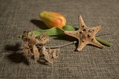 Close-up (N.the.Kudzu) Tags: home tabletop stilllife flower dead foliage starfish canon70d lensbabyburnside35 lightroom