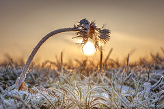 Frosted Over (adrians_art) Tags: dandelion plants flowers grass winter frost ice snow cold freeze sky clouds sunrise dawn silhouettes shadows gold yellow blue red gree orange black white light dark frozen