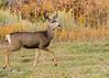 Mule Deer - Mesa Verde (dbking2162) Tags: wildlife nature nationalgeographic muledeer deer mesaverdenationalpark nationalparks beautiful beauty animal antlers