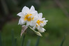 Ψίνθος (Psinthos.Net) Tags: ψίνθοσ psinthos nature countryside φύση εξοχή wildflowers wildflower flowers flower λουλούδια λουλούδι άνθη blossoms whiteblossoms λευκάάνθη άσπραάνθη κίτριναάνθη yellowblossoms narcissus νάρκισσοσ νάρκισσοσοκυπελλοφόροσ τσαμπάκι μυρσίτζια μυρσίτζι greens χόρτα fasouli φασούλι fasuli γύρη pollen απόγευμα απόγευμαχειμώνα afternoon january ιανουάριοσ γενάρησ χειμωνιάτικοαπόγευμα χειμώνασ winter
