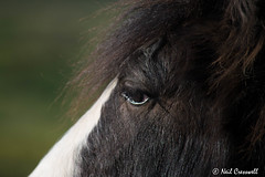 11/365 2018 Head Shot. (crezzy1976) Tags: nikon d3300 nikkor55300mm crezzy1976 photographybyneilcresswell photoaday horse animal nature closeup headshot eye 365 365challenge2018 day11