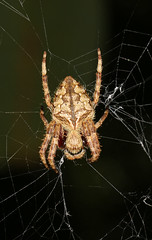 Garden Orb Weaver (Jenny Thynne) Tags: mtcootthabotanicgardens brisbane queensland australia spider brisbanebugsnappers araneidae eriophoratransmarina