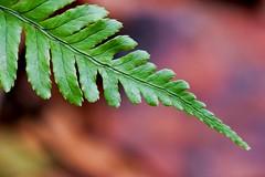Green in Winter (dianne_stankiewicz) Tags: fern green nature plant