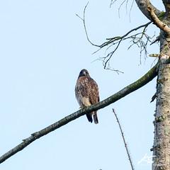 _DSC6367.jpg (kasperisummanen) Tags: birds nisquallynationalwildliferefuge wa pnw wildlife
