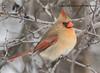 _E4A1336 (Greggor58) Tags: bird nature cardinal female buckthorn ontario