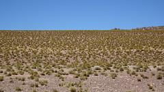 162 Anden-Gras(s); Festuca Orthophylla (roving_spirits) Tags: chile atacama atacamawüste atacamadesert desiertodeatacama désertcôtier küstenwüste desiertocostero coastaldesert