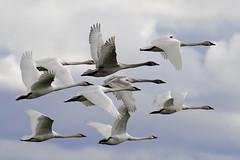 Trumpeter Swans in Flight (ferglandfoto) Tags: d5c8702 trumpeterswan trumpeterswaninflight swan swans nature naturepicture naturepic natureshot naturephotography wildlife wildlifepic wildlifephotography cygnusbuccinator pnw