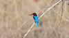 White chested Kingfisher (theviewfinder) Tags: kingfisher d3s nikon tc14ii nikon300mmf4 midhun midhunthomas midhunjohnthomas kabini karnataka birds birdphotography wildlife