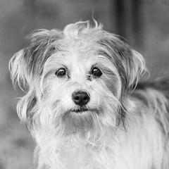Kristal27Jan201839-Edit.jpg (fredstrobel) Tags: dogs pawsatanta phototype atlanta blackandwhite usa animals ga pets places pawsdogs decatur georgia unitedstates us